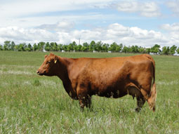 Gill Red Angus Females